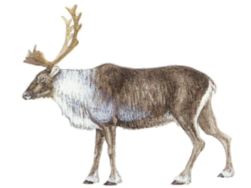 северный олень картинка раскраска
