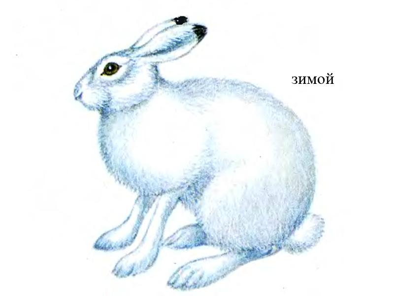Как нарисовать зайца беляка поэтапно