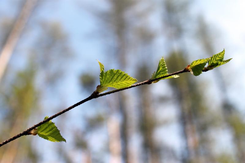 Когда распустились листья у березы в 2018 году